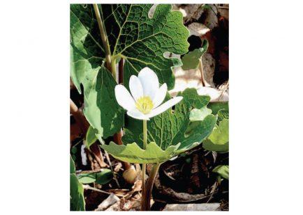 Bloodroot Flower - Julie